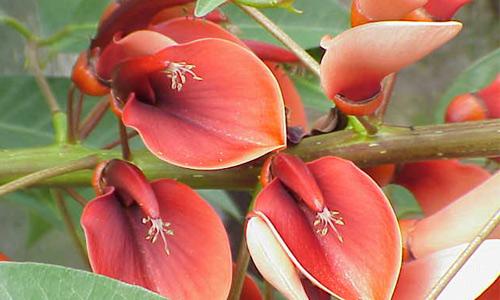 La niña Anahí y el mito de la flor del ceibo