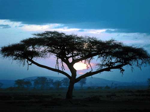 Arbol Africa