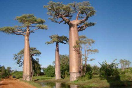 La leyenda africana del Baobab