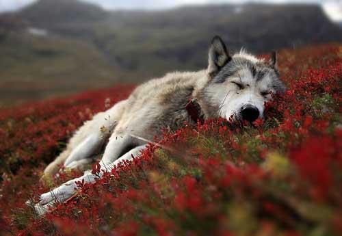 La loba y el lobo cogiendo con todo 10