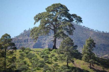 El árbol maldito de Casandra, en Gran Canaria